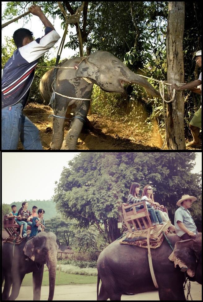 toture des éléphants dasie au phajaan