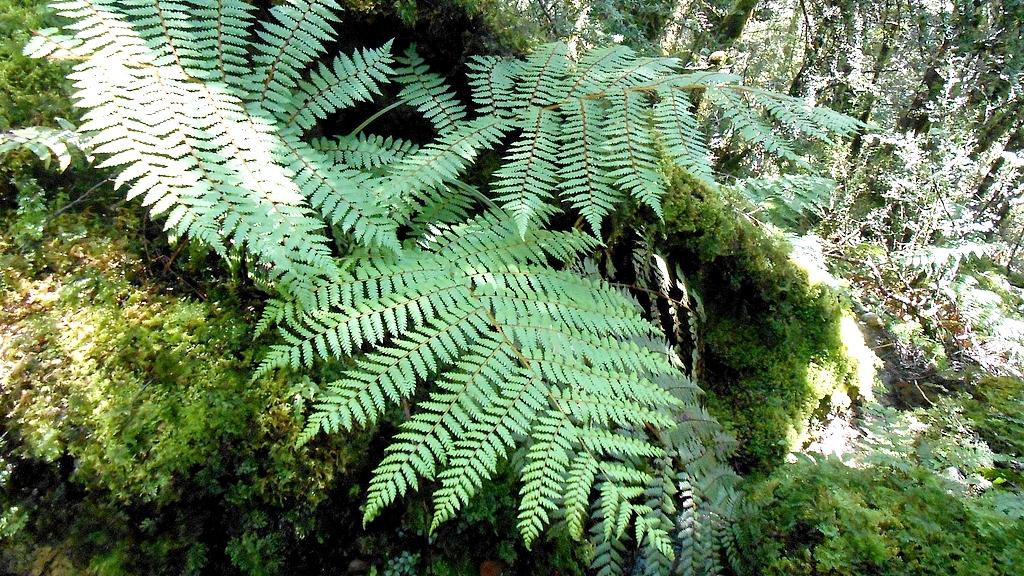 the silver fern