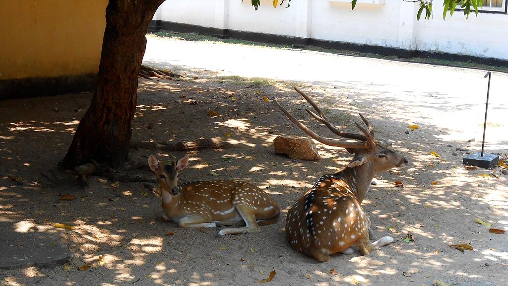 Chitals à Trincomalee