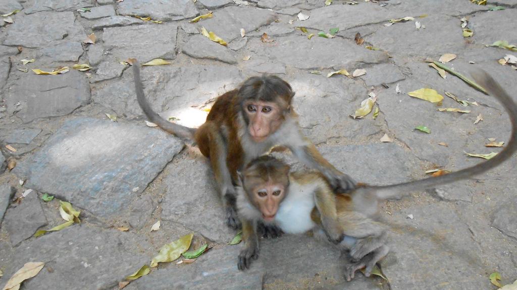 Macaques à Toque - Dambulla