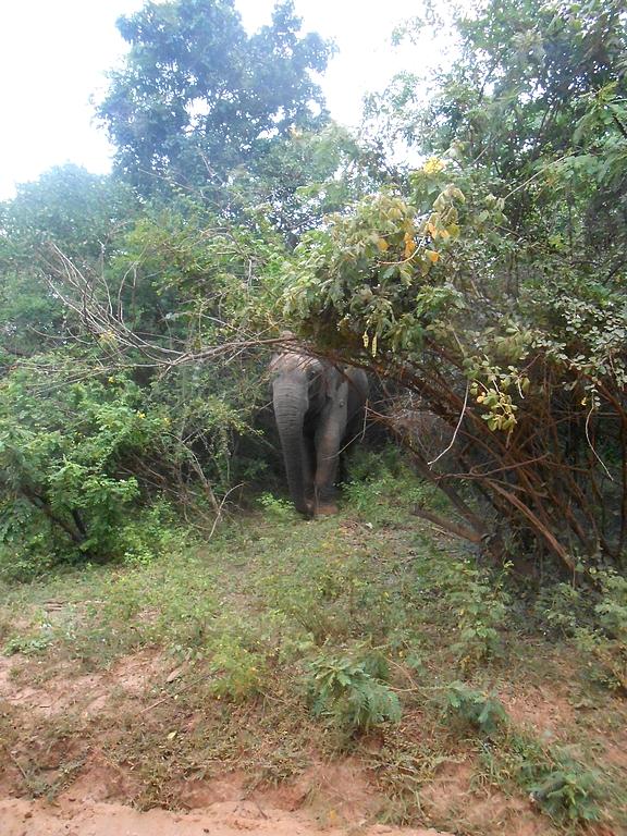 Eléphant au Yala national park