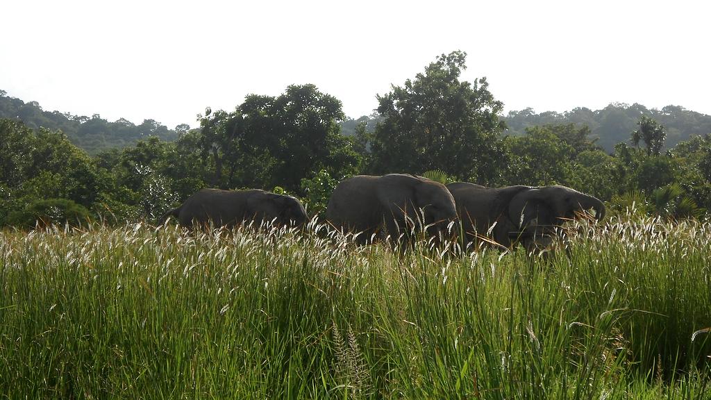Les éléphants en liberté