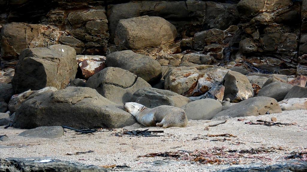 Otarie à Curio bay